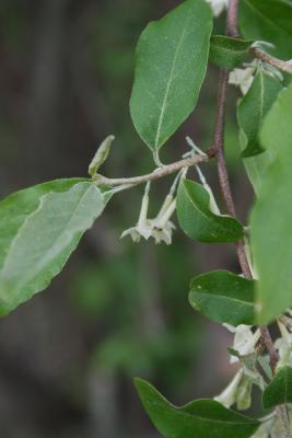 Elaeagnus umbellata (Autumn-olive), flower, side