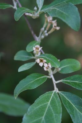 Elaeagnus umbellata (Autumn-olive), flower, throat