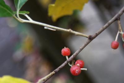 Elaeagnus umbellata (Autumn-olive), fruit, mature