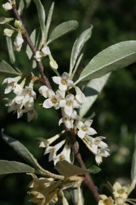 Elaeagnus umbellata (Autumn-olive), flower, full