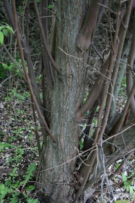 Elaeagnus umbellata (Autumn-olive), bark, trunk