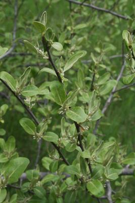 Elaeagnus umbellata  (Autumn-olive), habit, spring, leaf