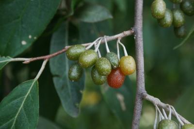 Elaeagnus umbellata (Autumn-olive), fruit, immature
