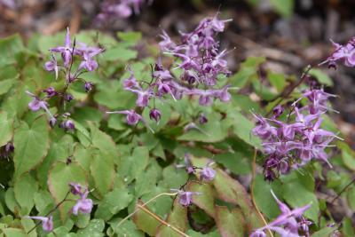 Epimedium grandiflorum 'Lilafee' (Lilafee Longspur Barrenwort), habit, spring, inflorescence