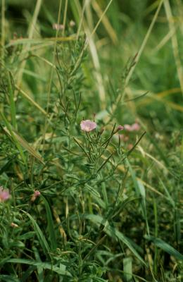 Epilobium hirsutum (Hairy Willowherb), habit, summer
