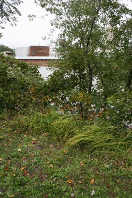 Elymus virginicus (Virginia Wild Rye), habit, fall