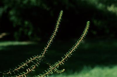 Empetrum nigrum (Black Crowberry), leaf, spring, bark, twig