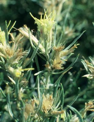 Ericameria parryi (Parry's Rabbitbrush), flower, full