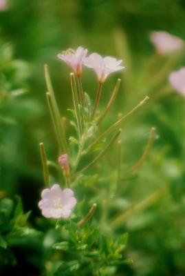 Epilobium hirsutum (Hairy Willowherb), flower, full, fruit, immature