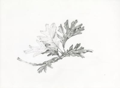 Quercus alba branch [graphic] / NSHS.