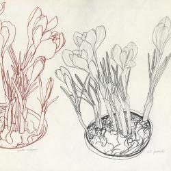Crocus study sketches [graphic] / N.S. Hart.