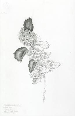 Crataegus viridis 'Winter King' [graphic] / Nancy S. Hart Stieber.