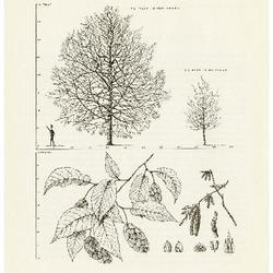 Ostrya virginiana (Mill.) K. Koch.  Ironwood, American Hornbeam: (Betulaceae) Birch Family