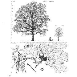 Histoire des chênes de l'Amérique  ou, Descriptions et figures de toutes les espèces et variétés de chênes de l'Amérique Septentrionale, considérées sous les rapports de la botanique, de leur culture et de leur usage