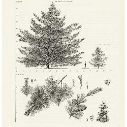 Pinus parviflora Siebold and Zuccarini, Japanese White Pine: (Pinaceae) Pine Family