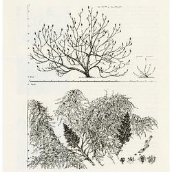 Rhus typhina L. dissecta Rehd. Cutleaf Staghorn Sumac: (Anacardiaceae) Cashew Family