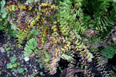 Adiantum pedatum (Maidenhair Fern), leaf, fall