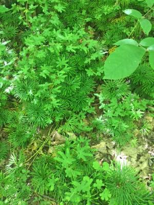 Lygodium palmatum (American Climbing Fern), habit, summer