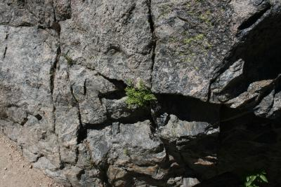 Cryptogramma acrostichoides (American Parsley Fern), habitat
