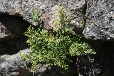 Cryptogramma acrostichoides (American Parsley Fern), habit, summer