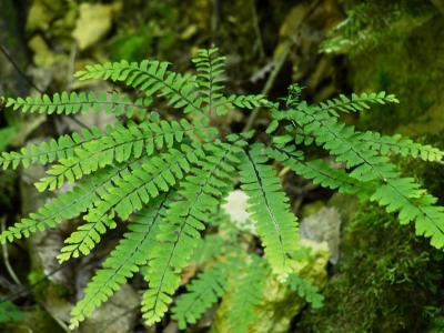 Adiantum pedatum (Maidenhair Fern), leaf, summer