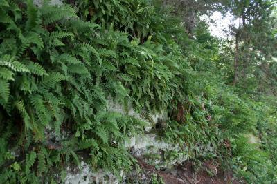 Polypodium virginianum (Common Polypody), habitat
