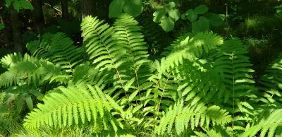 Osmunda claytoniana (Interrupted Fern), habit, summer, leaf, summer