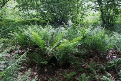 Osmunda cinnamomea (Cinnamon Fern), habitat, habit, summer