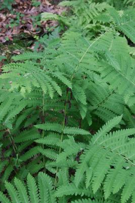 Osmunda claytoniana (Interrupted Fern), leaf, fertile