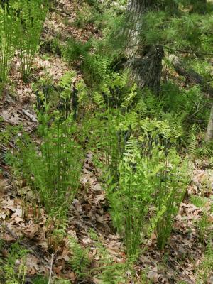 Osmunda claytoniana (Interrupted Fern), habit, spring, leaf, fertile