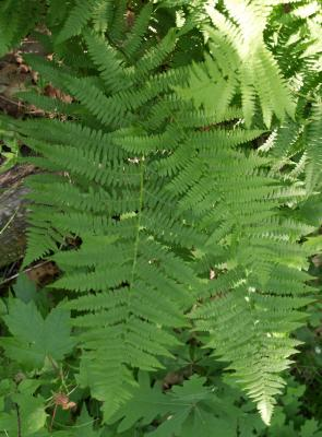 Osmunda cinnamomea (Cinnamon Fern), habit, summer