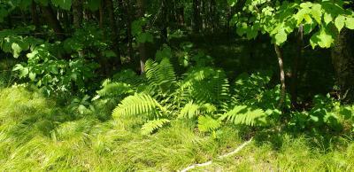 Osmunda claytoniana (Interrupted Fern), habitat, habit, summer