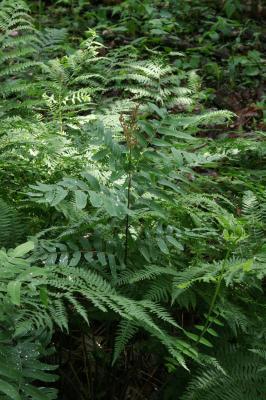 Osmunda regalis var. spectabilis (Royal Fern), habit, summer, leaf, fertile
