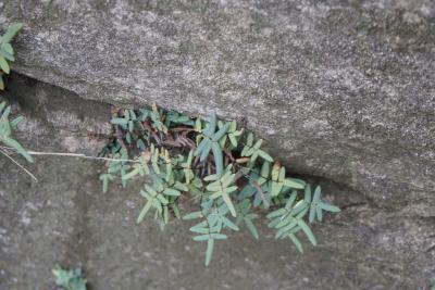 Pellaea glabella subsp. glabella (Smooth Cliffbrake), habit, fall