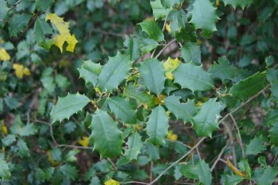 Ilex opaca (American Holly), leaf, spring