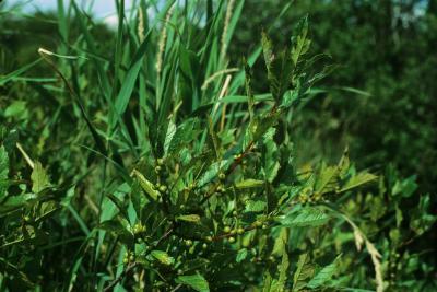Ilex verticillata (Common Winterberry), habit, fall