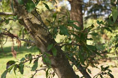 Ilex decidua (Possum-haw), bark, mature