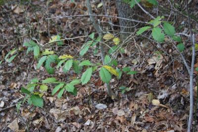 Ilex opaca (American Holly), habit, spring
