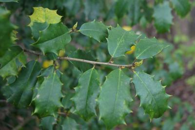 Ilex opaca (American Holly), leaves, upper surface