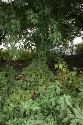 Ipomoea pandurata (Wild Sweet Potato), habitat
