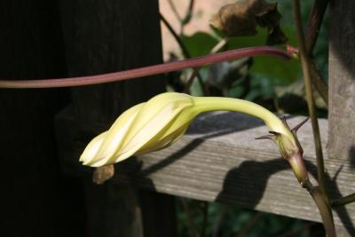 Ipomoea alba (Moonflower), flower, side