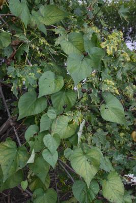 Ipomoea pandurata (Wild Sweet Potato), leaf, fall