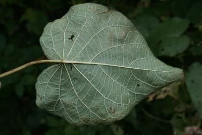 Ipomoea pandurata (Wild Sweet Potato), leaves, lower surface