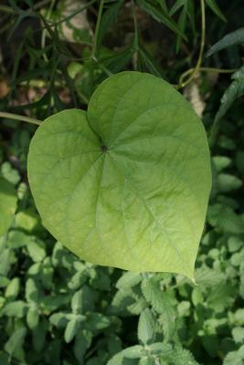 Ipomoea alba (Moonflower), leaves, upper surface