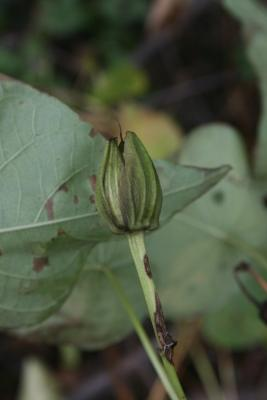 Ipomoea pandurata (Wild Sweet Potato), fruit, immature