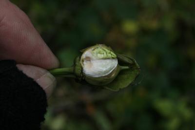 Ipomoea pandurata (Wild Sweet Potato), seed