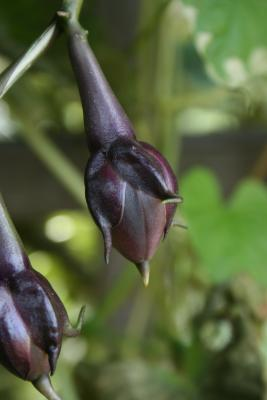 Ipomoea alba (Moonflower), fruit, immature