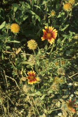 Gaillardia pulchella (Firewheel), habit, summer