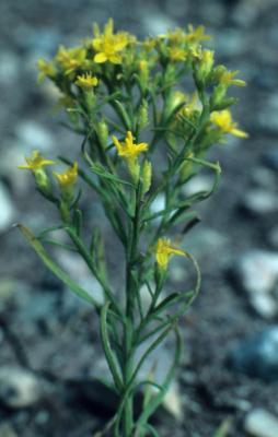 Gutierrezia sarothrae (Broomweed), inflorescence