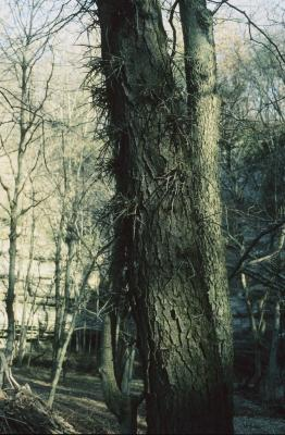 Gleditsia triacanthos (Honey-locust), bark, mature, thorn